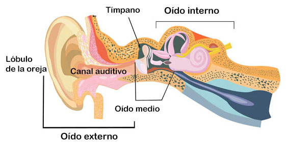 Partes del oído: oído externo, medio e interno